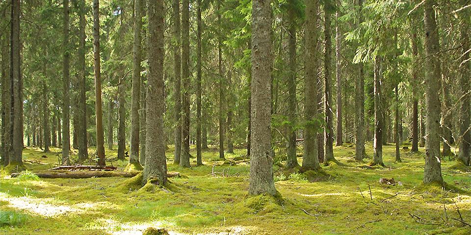 Der moderne Wald - nachwachsende Rohstoffe für Holzhäuser